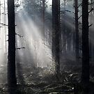 22.5.2015: Spring Morning in Pine Tree Forest II by Petri Volanen