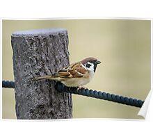 Tree sparrow in Nagoya Poster