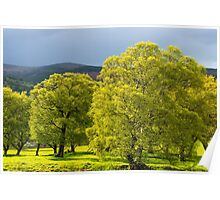 Birch Trees After the Storm  Poster