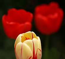 Tulips by Sonia Pole
