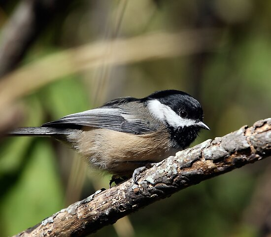 Black-Capped Chickadee (2010 Calendar Oct) by Wolf Read
