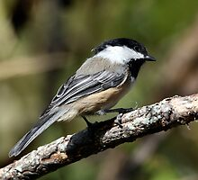 Black-Capped Chickadee (2010 Calendar Aug) by Wolf Read