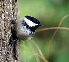 Black-Capped Chickadee (2010 Calendar Mar) by Wolf Read