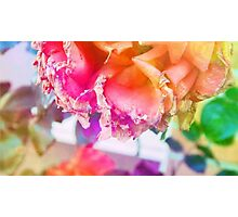 old withering rose rainbow flower Photographic Print