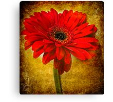 The Golden Gerbera Canvas Print