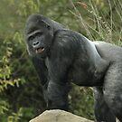 West Lowland Silverback Gorilla by Franco De Luca Calce