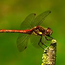 Dragonfly by Gazart