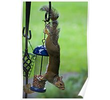 Upside-down Squirrel Poster