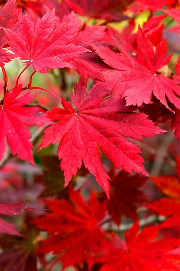 Korean Maple Leaves - Seoraksan National Park, South Korea by Alex Zuccarelli