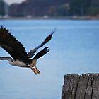 bird at flight by johnbruceross