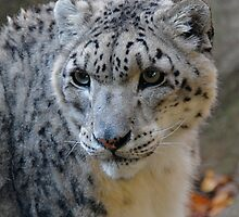 Snow Leopard by main1