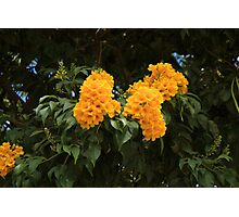 Yellow Flowers on a Tree Photographic Print