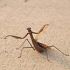 Waltzing Mantis by Edyth Counter-Griffis