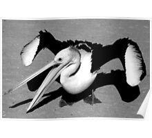 """Rogue Pelican"" Monkey Mia, Western Australia Poster"