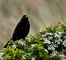 Blackbird on May Blossom by Violaman