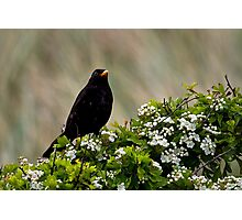 Blackbird on May Blossom Photographic Print