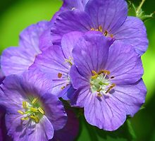 Beautiful Wild Geranium by lorilee