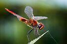 Red Dragon by Vikram Franklin