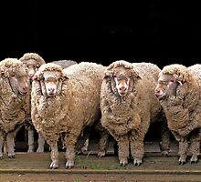 sheepy gossip by Ellenor Clarke