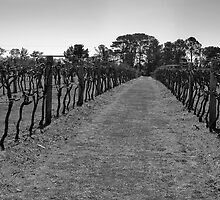 Down the Vineyard BW by gmpepprell