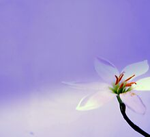 white flower  by jayantilalparma
