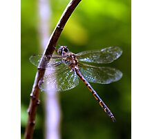 Dragonfly #4 Photographic Print