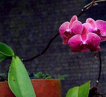 Orchids, Murni's Villas, Bali by JonathaninBali