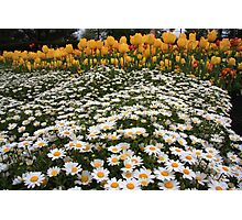 Mattress of Daisies and a Pillow of Tulips Photographic Print