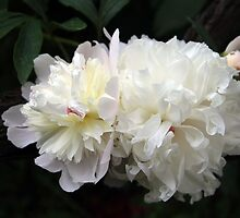 White Peony 2 by Dennis Melling