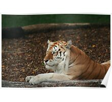Relaxed Big Cat Poster