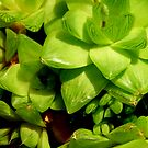 Succulent..... by LouJay