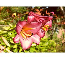 Two Beautiful Red Lilies Photographic Print