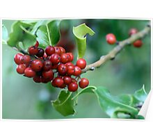 European Holly Full of Red Drupes Poster