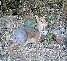 Damaraland Dik Dik by Matt Eagles