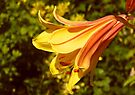 Yellow Lily in the Sun by LoneAngel
