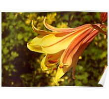 Yellow Lily in the Sun Poster