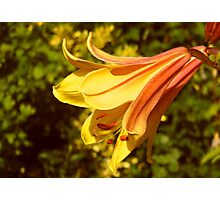 Yellow Lily in the Sun Photographic Print