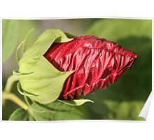 Red Mallow Bud Poster