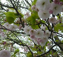 Cherry Blossom by clareb123