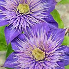 Purple Clematis Flowers by Kenneth Keifer