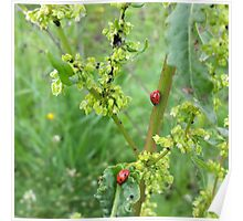two ladybugs  Poster