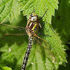 Female Hairy Dragonfly by kernuak