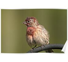 Puffed up, Proud, and Perky Finch Poster