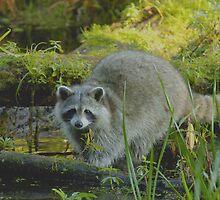 Raccoon by gregsmith