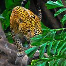 The Leopard by John Miner