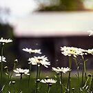 Field Daisies by Nazareth