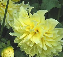 Kelvin Floodlight Dahlia by Stephen Thomas