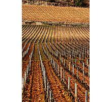 Vineyard vertical. Photographic Print