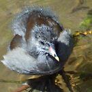 Moorhen Chick at Exeter Devon UK by lynn carter