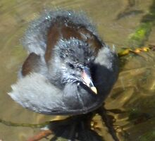 Moorhen Chick at Exeter Devon UK by lynn carter